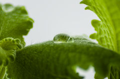 Drop of transparent water. On a fluffy, green leaf of a plant, on a light background Stock Image