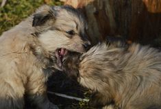 Drop. Two little puppies are playing Royalty Free Stock Photos