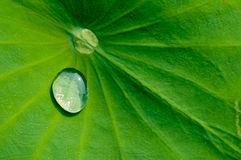 Drop water. On the Lotus leaf Stock Photography