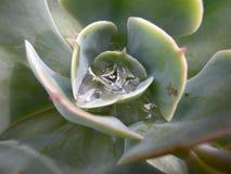 Drop of water in aeonium Stock Images