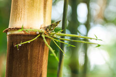 Drop water on bamboo leaves after rain Royalty Free Stock Photos