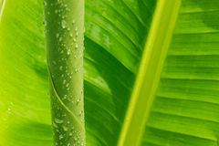Drop water on banana leaf Royalty Free Stock Image