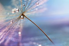A drop of water. A beautiful macro dandelion with a drop of water. Selective focus Stock Photos