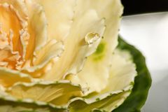 A drop of water on the brassica. Soft focus stock image