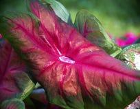 Drop of water on Caladium 'Brandywine' leaf Stock Photos