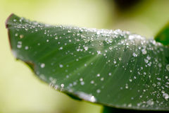 Drop water on canna leaf. In Ratchaburi thailand Stock Images