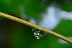 Drop. Water droplets on green branches Royalty Free Stock Images