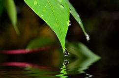Drop of water. Falling from green leaf with reflection (shallow DOF and selective focus Stock Photography