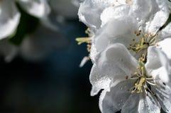 Drop of water flower apple macro Royalty Free Stock Image