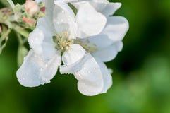 Drop of water flower apple macro Stock Photography