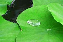 Drop of Water on Fresh Green Water Lily Leaf Royalty Free Stock Photos