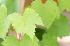 Drop of water on grape leaf Royalty Free Stock Photography