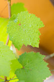 Drop of water on grape leaf Stock Photography