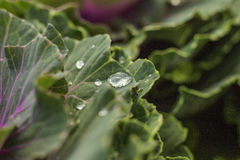 A drop of water on leaf. A drop of rain on the leaf in rainy season Royalty Free Stock Image