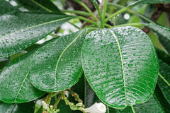 Drop of water on leaves. Royalty Free Stock Photo