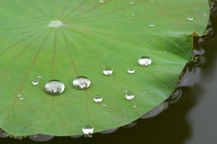 Drop of water on lotus leaf. In the pond Stock Photography