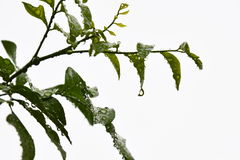 Drop of water on orange Jessamine leaf Stock Photography