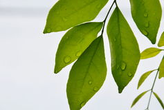 Drop of water on orange Jessamine leaf Stock Image