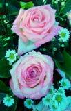 Drop water on pink rose Stock Photos