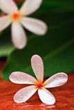 Drop of water on Plumeria Stock Photography