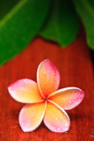 Drop of water on Plumeria Stock Image
