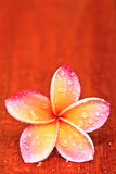 Drop of water on Plumeria Royalty Free Stock Photos