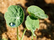 Drop of water prisoner in a sheet of nasturtium Royalty Free Stock Image