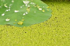 Drop of water rolling on lotus leaf and aquatic weed. Background royalty free stock photos