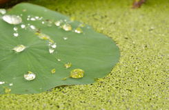 Drop of water rolling on lotus leaf and aquatic weed. Background stock images