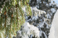 Drop of water is sparkling in the sunshine on a green spruce bra Royalty Free Stock Photo