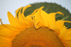A drop of water on sunflower Royalty Free Stock Image