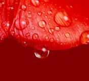 Drop of water on tulip Royalty Free Stock Photography