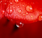 Drop of water on tulip Royalty Free Stock Photos