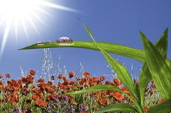 A drop of water under the sun. This image shows a field of poppies, with a drop of water on a grass in full sun Stock Images