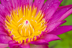 Drop on the waterlily's petal Stock Photography