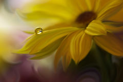 Drop on yellow background closeup.Tranquil abstract closeup art photography.Print for Wallpaper...Floral fantasy design... Stock Photos