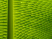 Droplet on banana leaf Royalty Free Stock Photo
