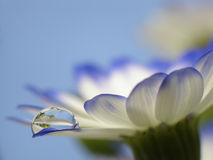 Droplet on flower. Drop of water on a flower`s petal Stock Photo