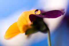Droplet on petal Stock Image