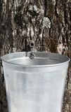 Droplet of sap flowing into a pail to produce maple syrup Stock Photography