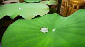 Droplet of Water with Tiny Dust on Fresh Green Water Lily Pad in the Pond. Closeup Droplet of Water with Tiny Dust on Fresh Green Water Lily Pad in the Pond Stock Images