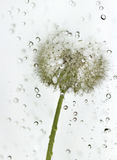 Droplets dandelion. Royalty Free Stock Photos