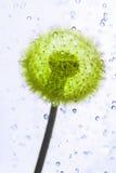 Droplets dandelion. Stock Images
