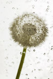 Droplets dandelion. Stock Image