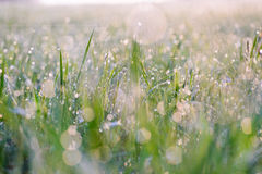 Droplets of dew on the grass glowing in the morning sun Royalty Free Stock Photography