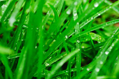 Droplets of dew on the grass. Droplets of dew on the green grass, shallow depth of field Royalty Free Stock Photos