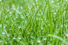 Droplets of dew on the grass in the morning. As background Stock Images