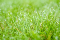 Droplets of dew on the grass in the morning. As background Stock Photography
