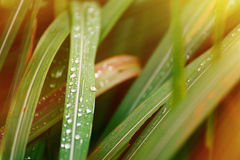 Droplets of dew on the green grass in the morning, shallow depth Royalty Free Stock Images