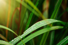 Droplets of dew on the green grass in the morning, shallow depth Stock Photo